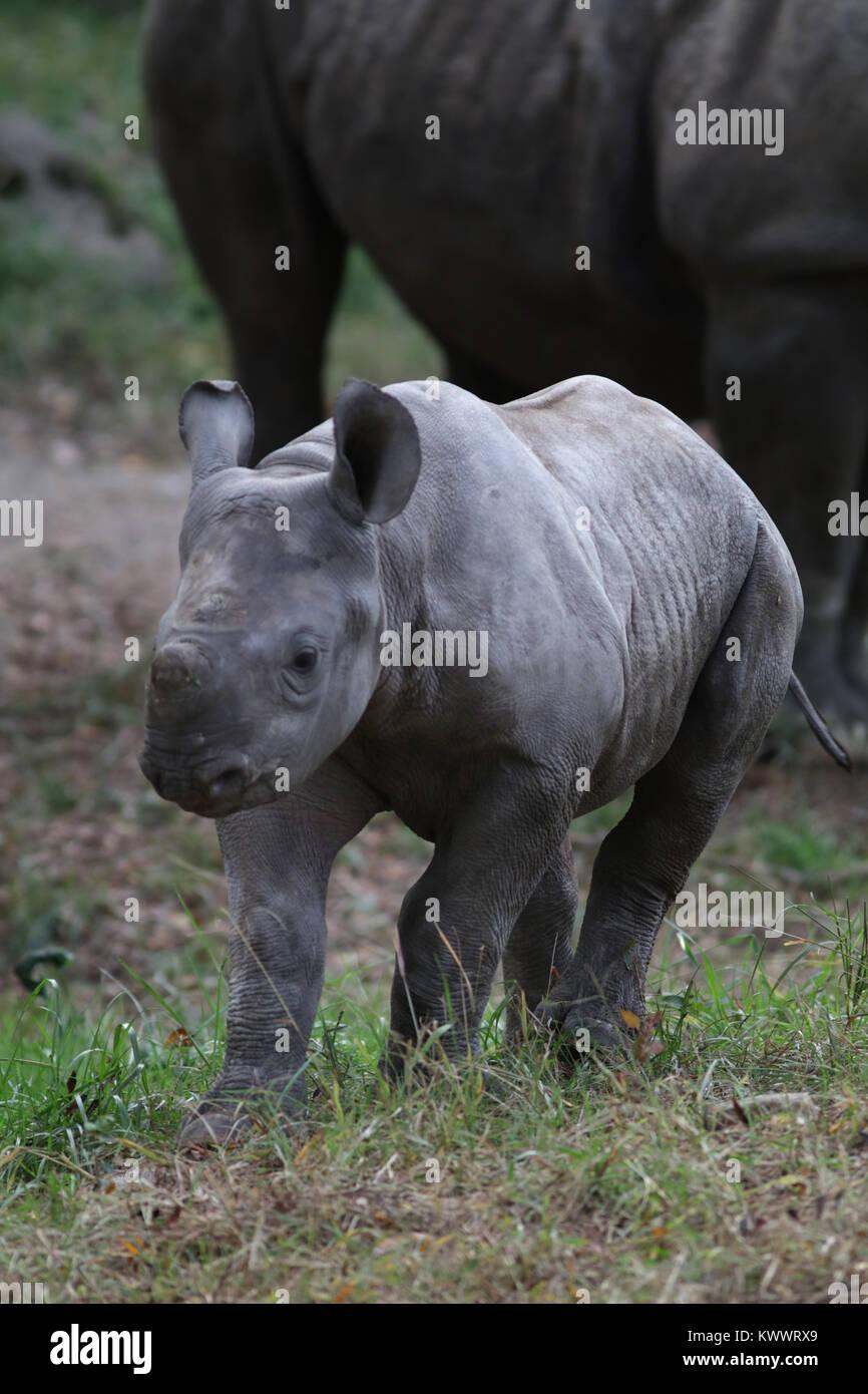 black rhinoceros horn close up at Cincinnati zoo - Stock Image