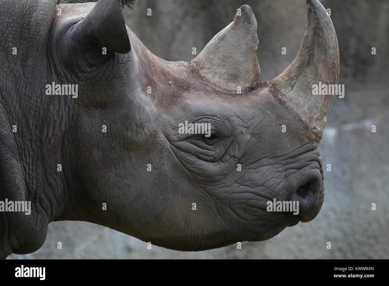 black rhinoceros mother and baby at Cincinnati zoo - Stock Image