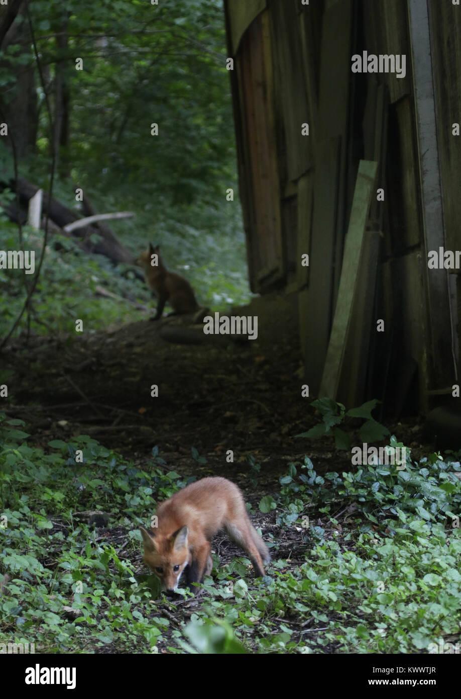 red fox pup near den under old barn Ohio - Stock Image
