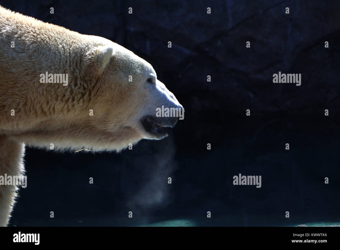 Polar bear Cincinnati Zoo captive breading - Stock Image