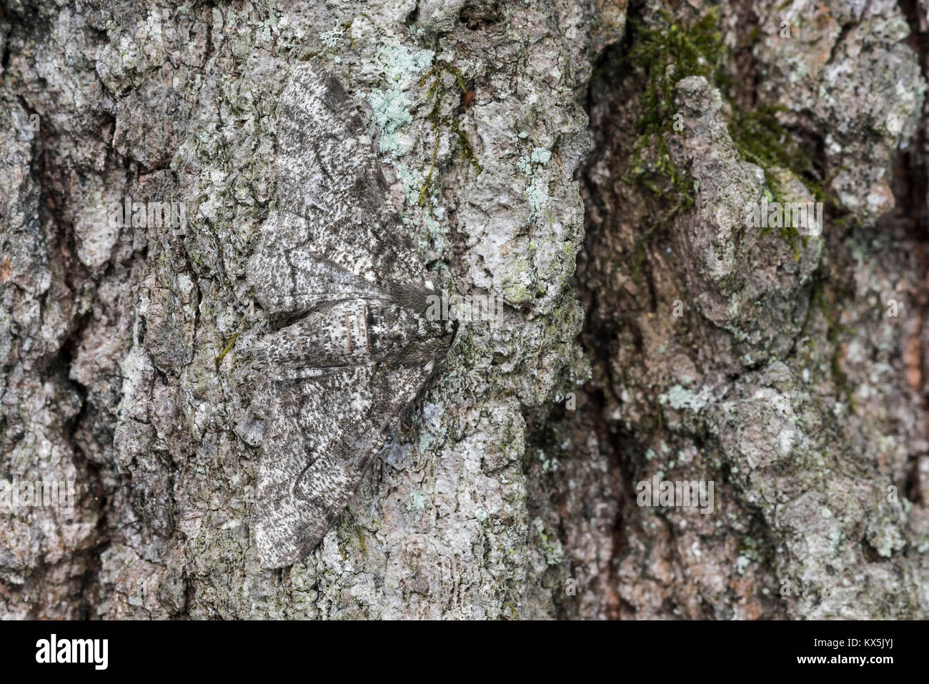 Pepper and Salt Geometer moth camouflaged on oak bark. Cove Mountain (TNC) Preserve, Perry County, Pennsylvania, - Stock Image