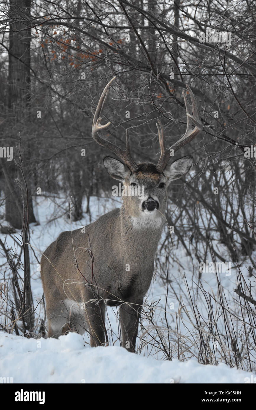 deer-in-snow-KX95HN.jpg