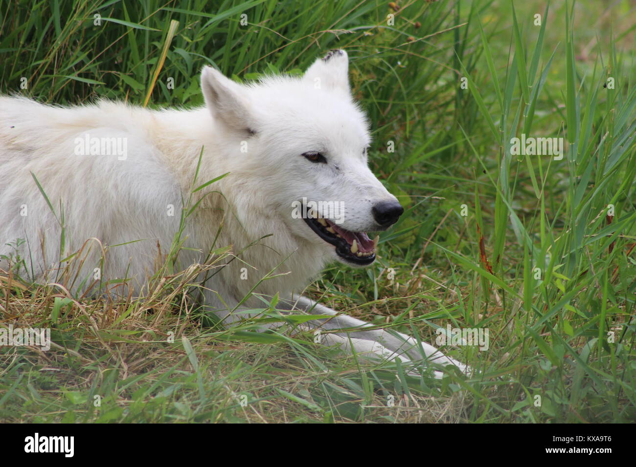 Canadian arctic wolf laying in the grass on a hot summer day. - Stock Image