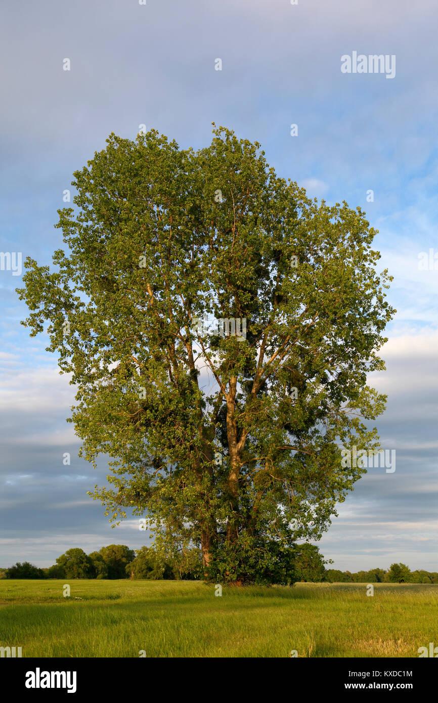 Poplar (Populus) in a meadow in early summer, Elbaue, Biosphere Reserve Middle Elbe, Dessau-Rosslau, Saxony-Anhalt, - Stock Image