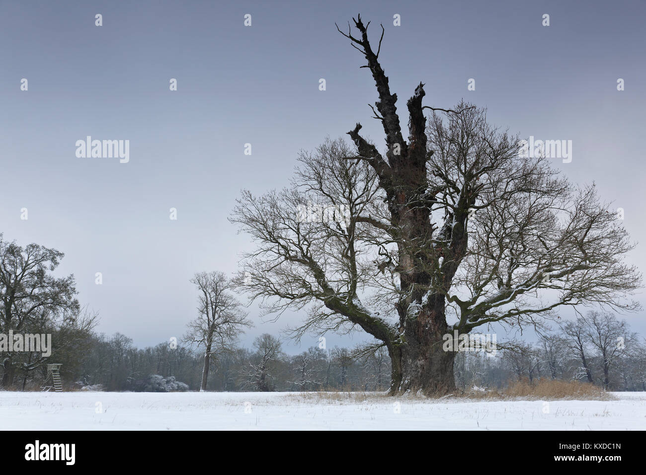 650 years old English oak (Quercus robur) in winter, solitaire tree, alluvial forest, Biosphere Reserve Middle Elbe - Stock Image