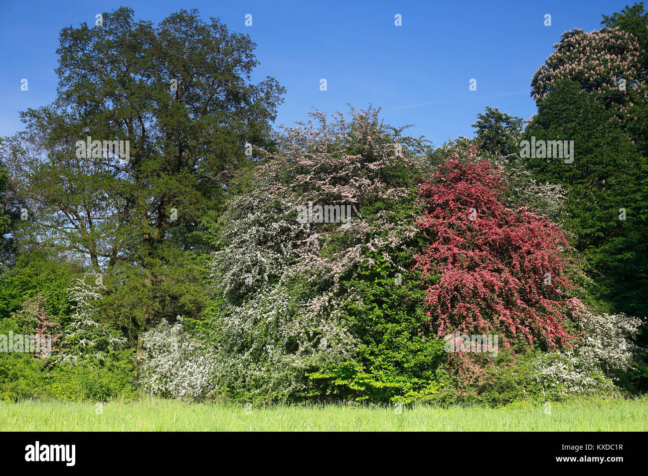 Flowering hawthorn (Crataegus monogyna) and Paul's Scarlet (Crataegus laevigata), Biosphere Reserve Middle Elbe, - Stock Image