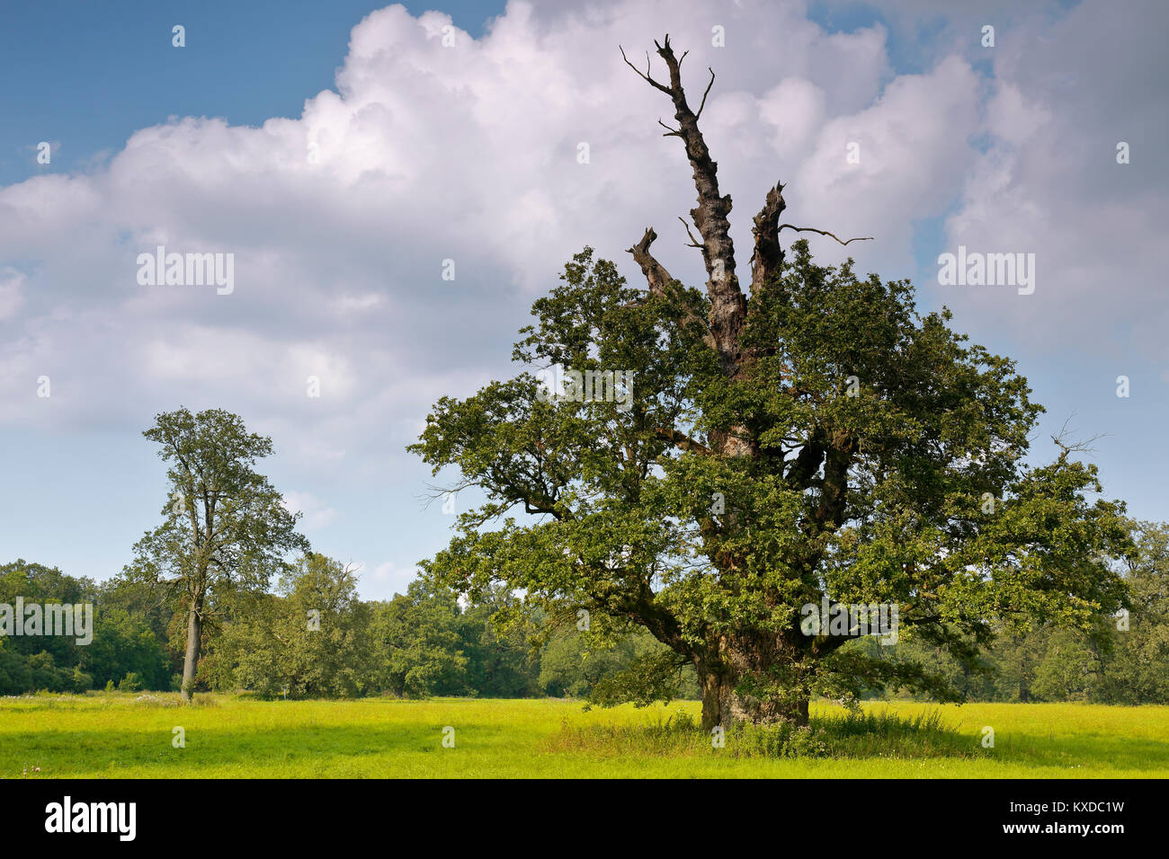 650 years old English oak (Quercus robur) in summer, solitaire tree, alluvial forest, Biosphere Reserve Middle Elbe - Stock Image
