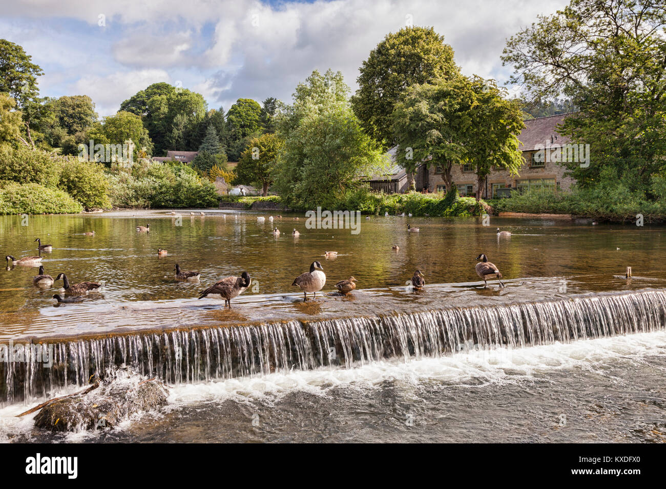 Canada geese and ducks on the weir on the River Wye at Bakewell, Derbyshire, England - Stock Image