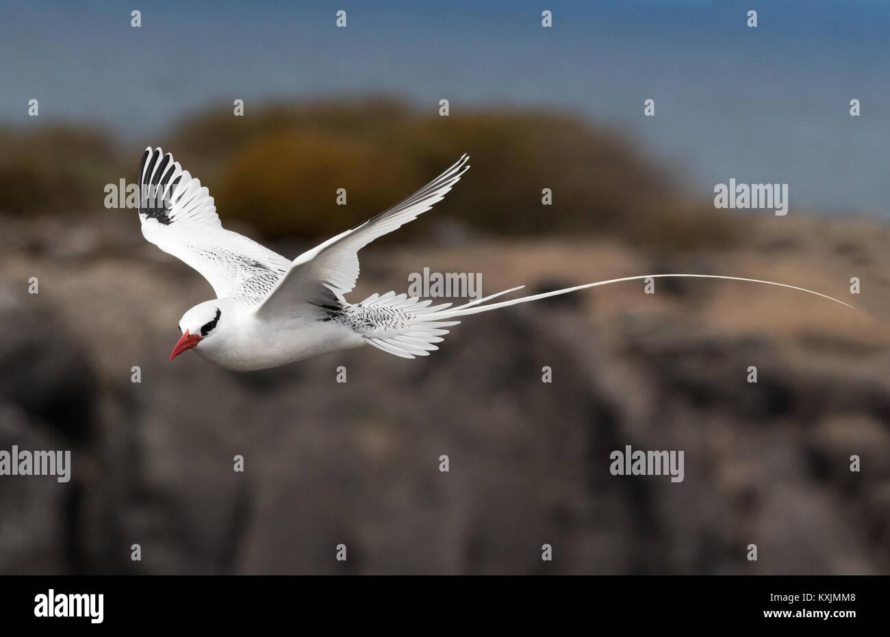 red-billed-tropic-bird-in-flight-phaetho