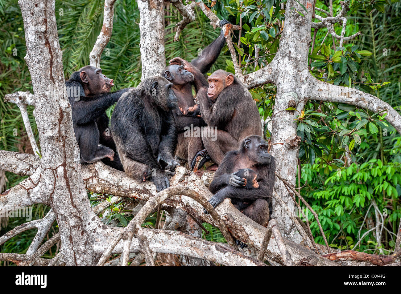 an analysis of the aids from chimpanzees Chimpanzees in research once hailed the key for a cure to aids which continues to kill millions despite the large number of chimpanzees that have been harmed by hiv/aids.