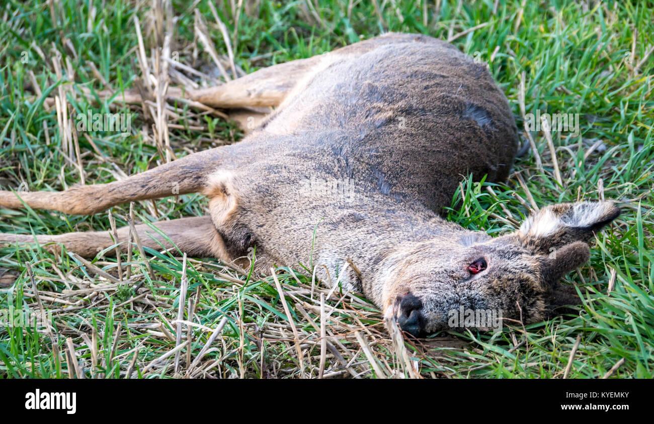 close-up-of-dead-deer-head-lying-in-gras