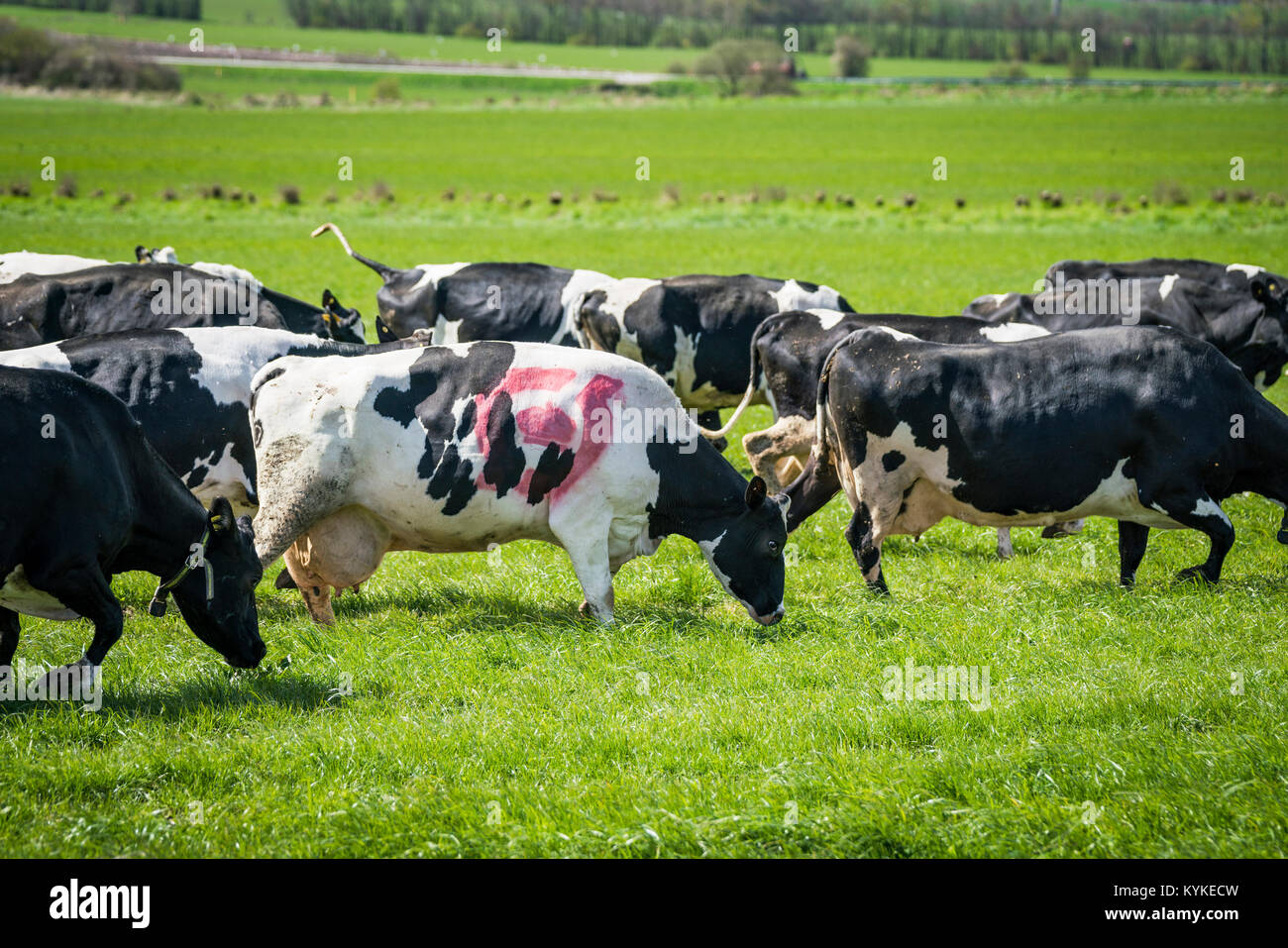Cow with the danish ecology quality stamp grazing on a green field in the spring - Stock Image