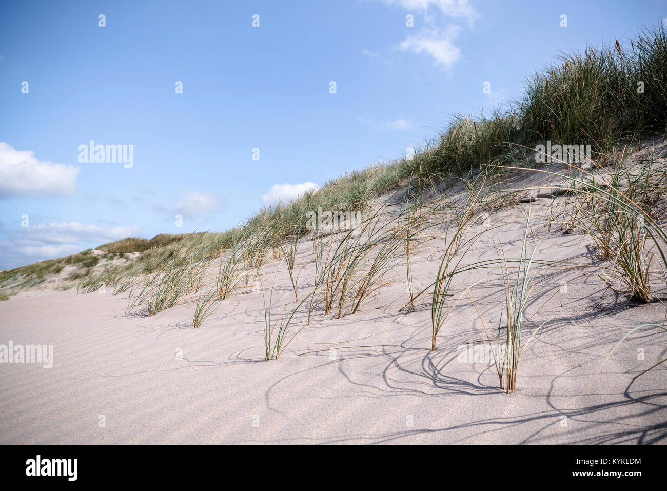 Close-up of lyme grass in danish nature on a beach shore in the summer - Stock Image