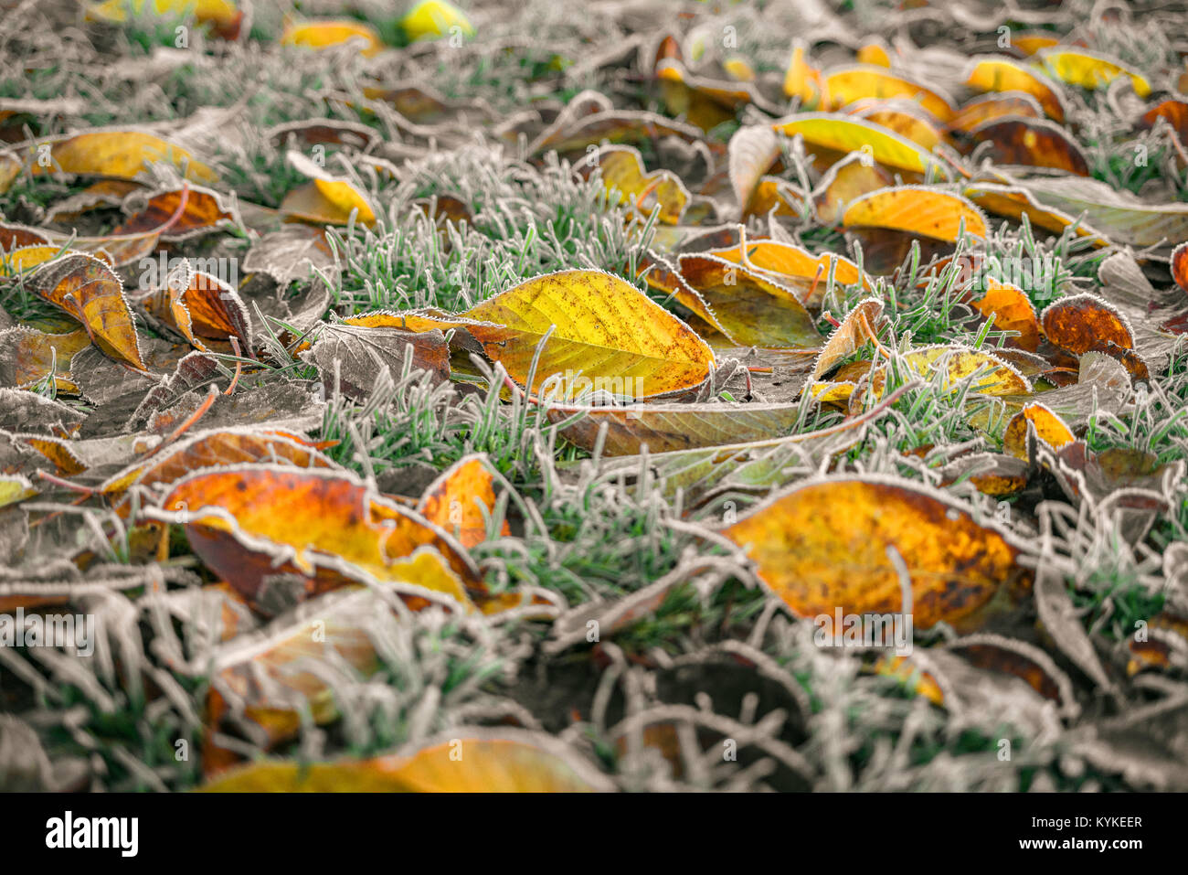 Frozen leaves in autumn colors in the early winter covered with hoarfrost in the morning sun - Stock Image