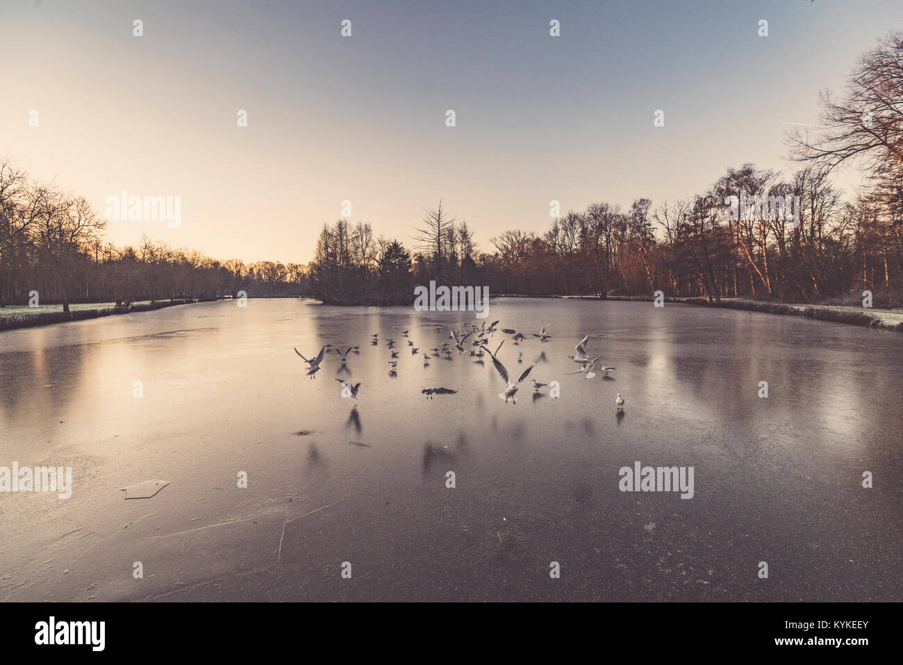Gulls flying over a frozen lake in the winter in the early morning sunrise with ice on the water - Stock Image