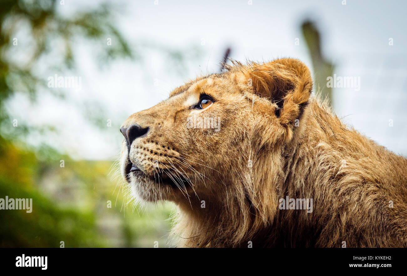 Female lion with wet fur looking up in a scene with green plants - Stock Image