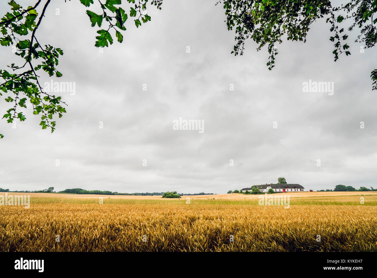 Golden grain on a rural field in cloudy weather with a farm house in the distance - Stock Image