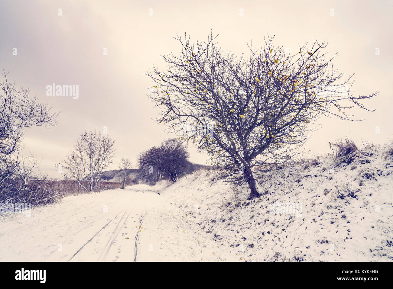 Road covered with snow with an appletree by the roadside in the winter - Stock Image