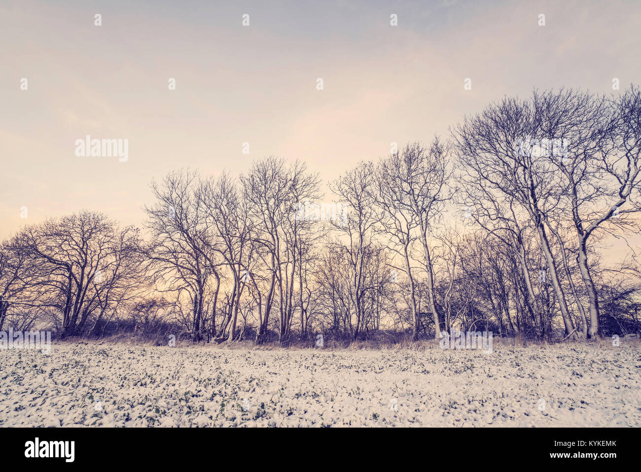 Winter scenery with trees on a row in the morning sunrise with snow on the branches - Stock Image