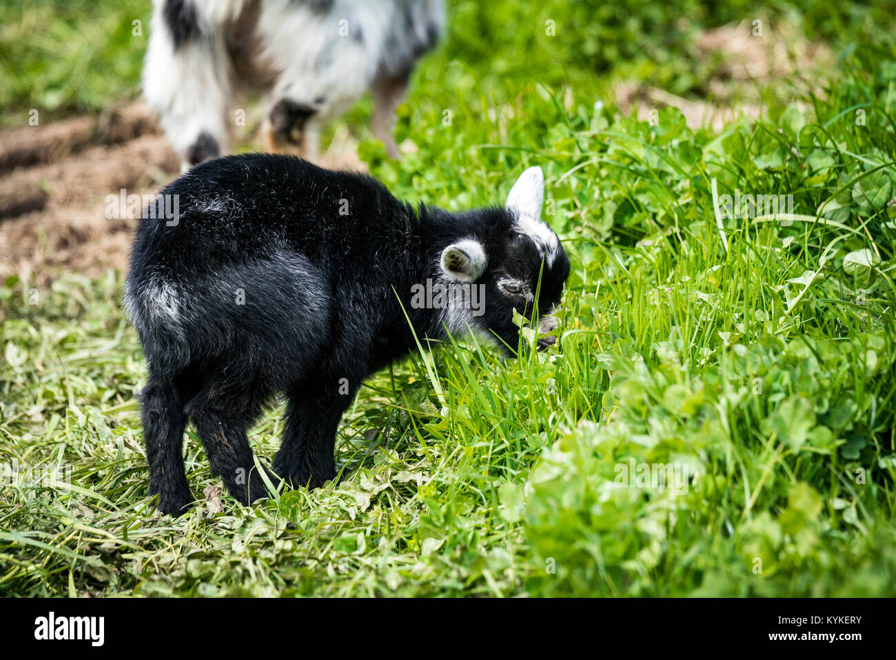 Little black goat youngster in black color eating green grass on a meadow - Stock Image