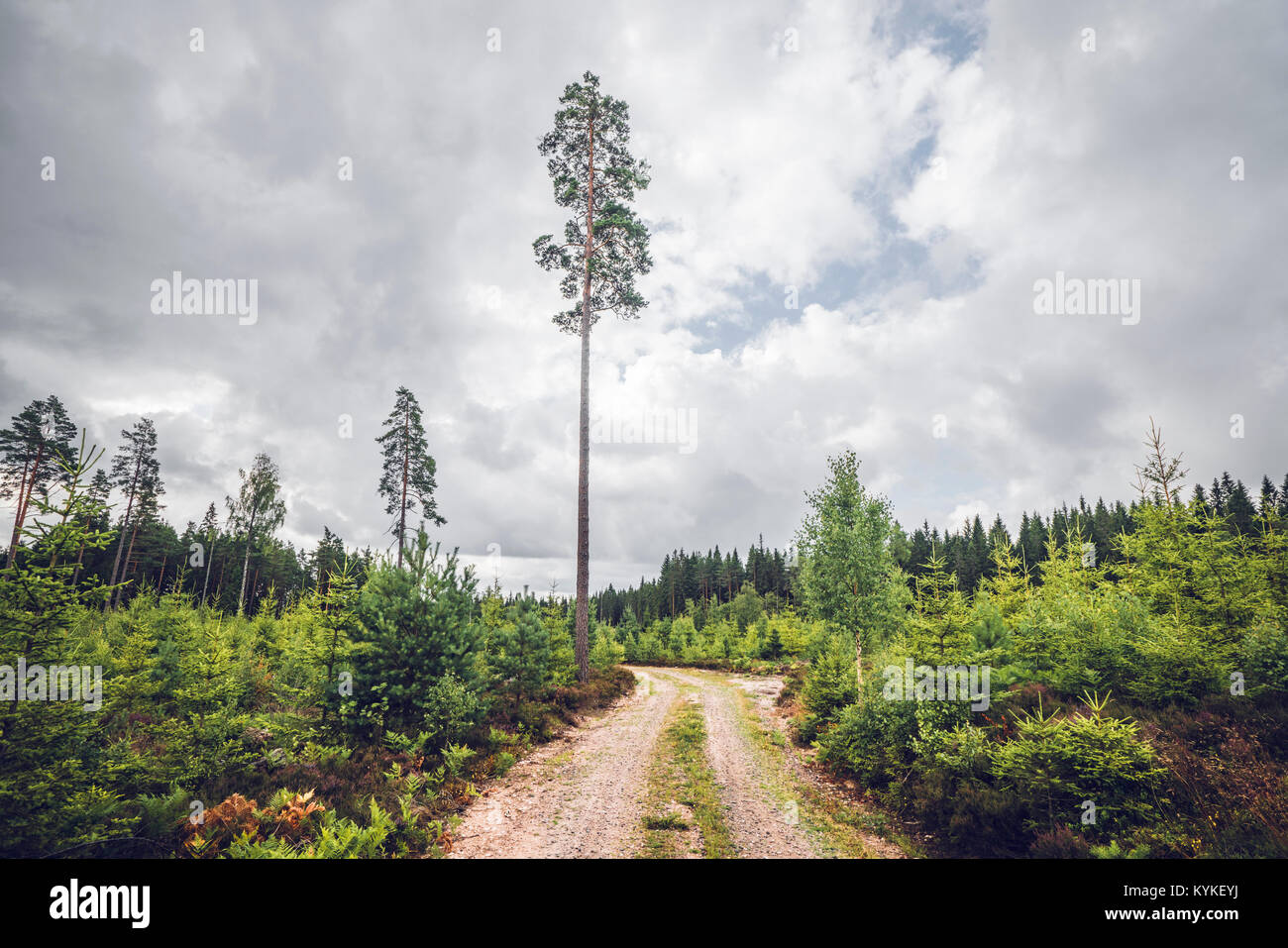 Nature trail in a Scandinavian forest with tall pine trees in the summer - Stock Image