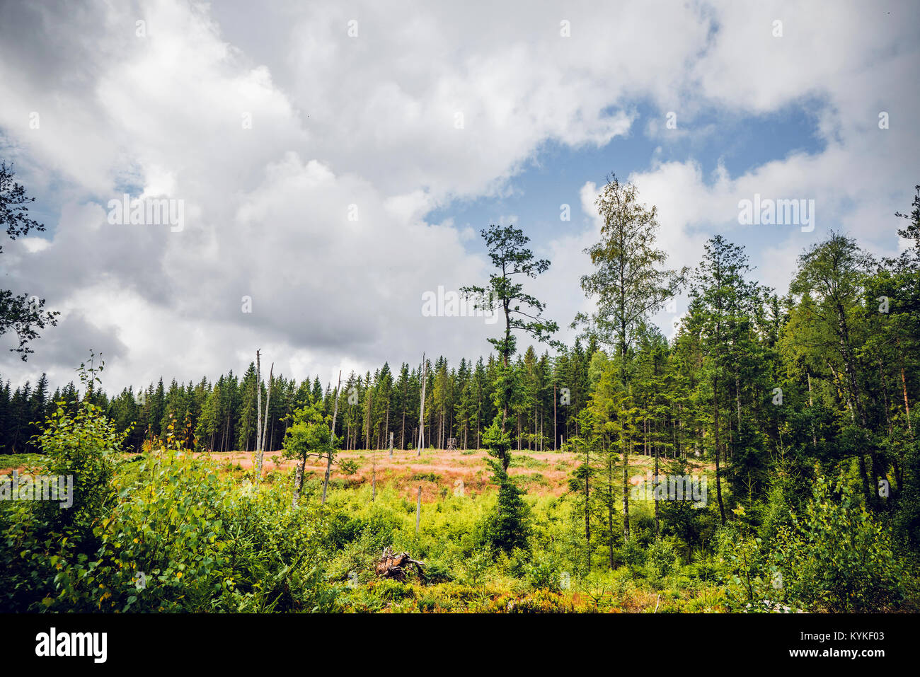 Pine trees in a forest clearing in the summer with green nature - Stock Image