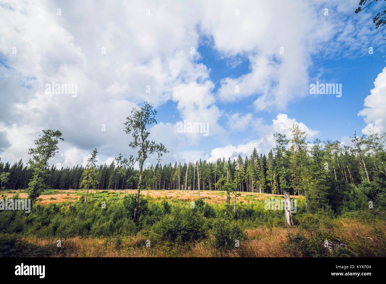Forest clearing surrounded by tall pine trees in the summer - Stock Image