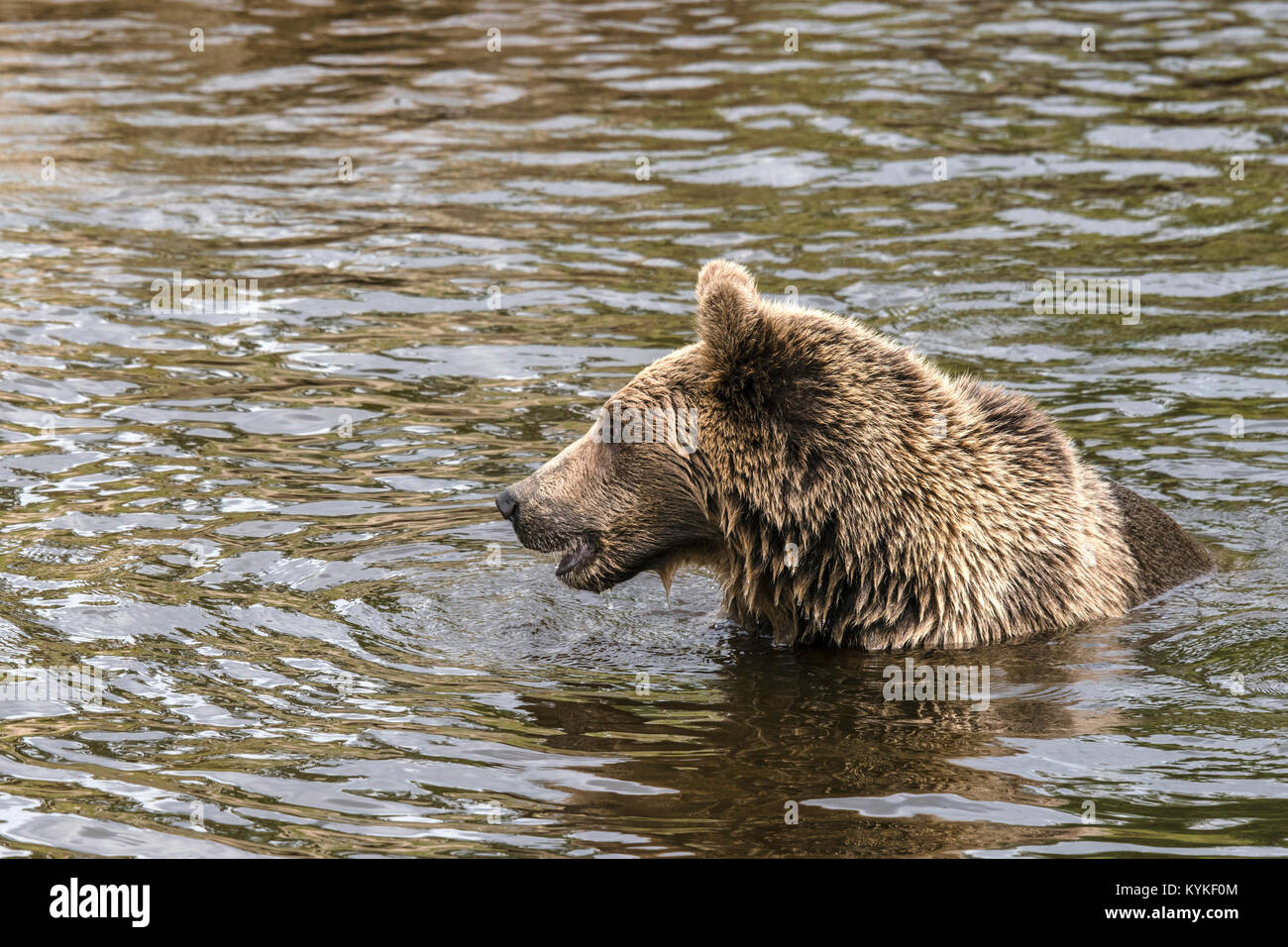 Brown bear hunting for fish in a river looking fierce with wet fur - Stock Image