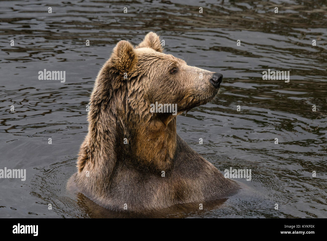 Bear in a lake with wet fur in the dark water looking for fish - Stock Image