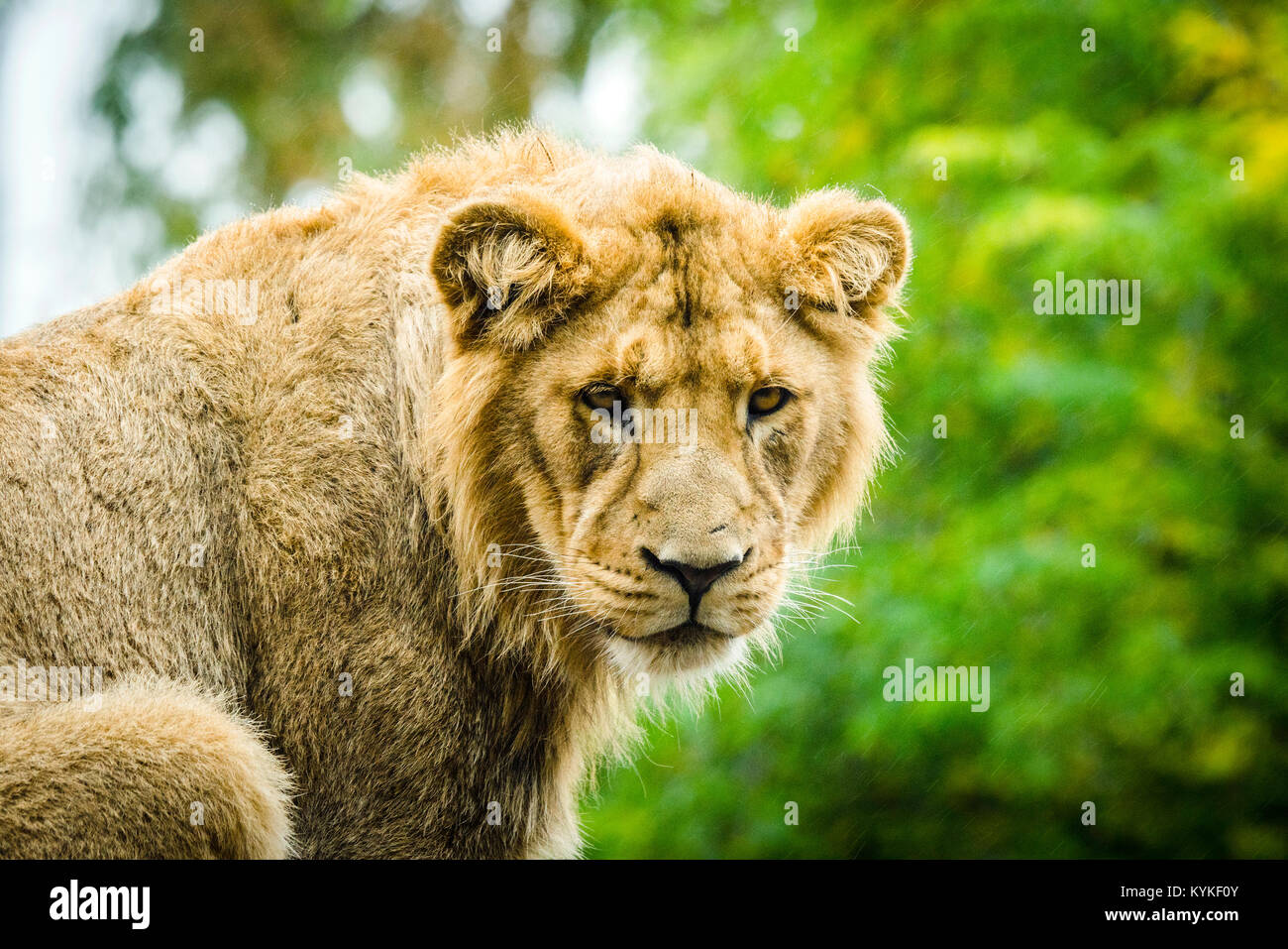 Lion looking hungry in the rain with green nature in the background - Stock Image