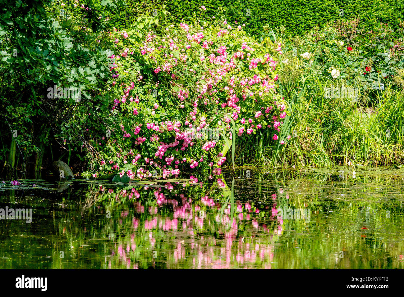 Colorful flowers in pink colors reflection in the water of a pond in the summer - Stock Image