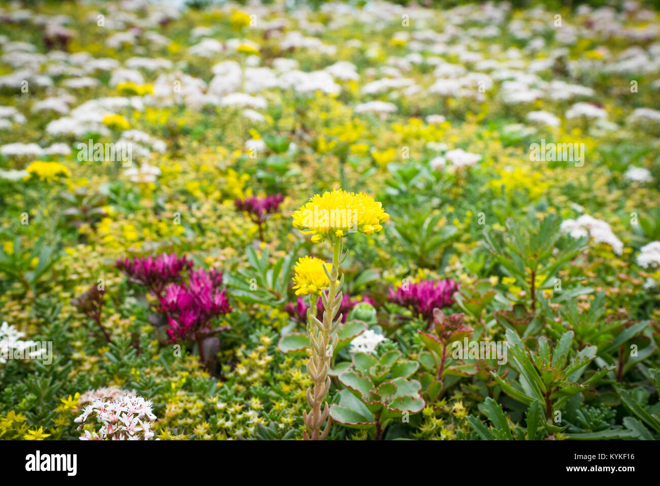 Flowers on a meadow in the summer in a variety of colors - Stock Image