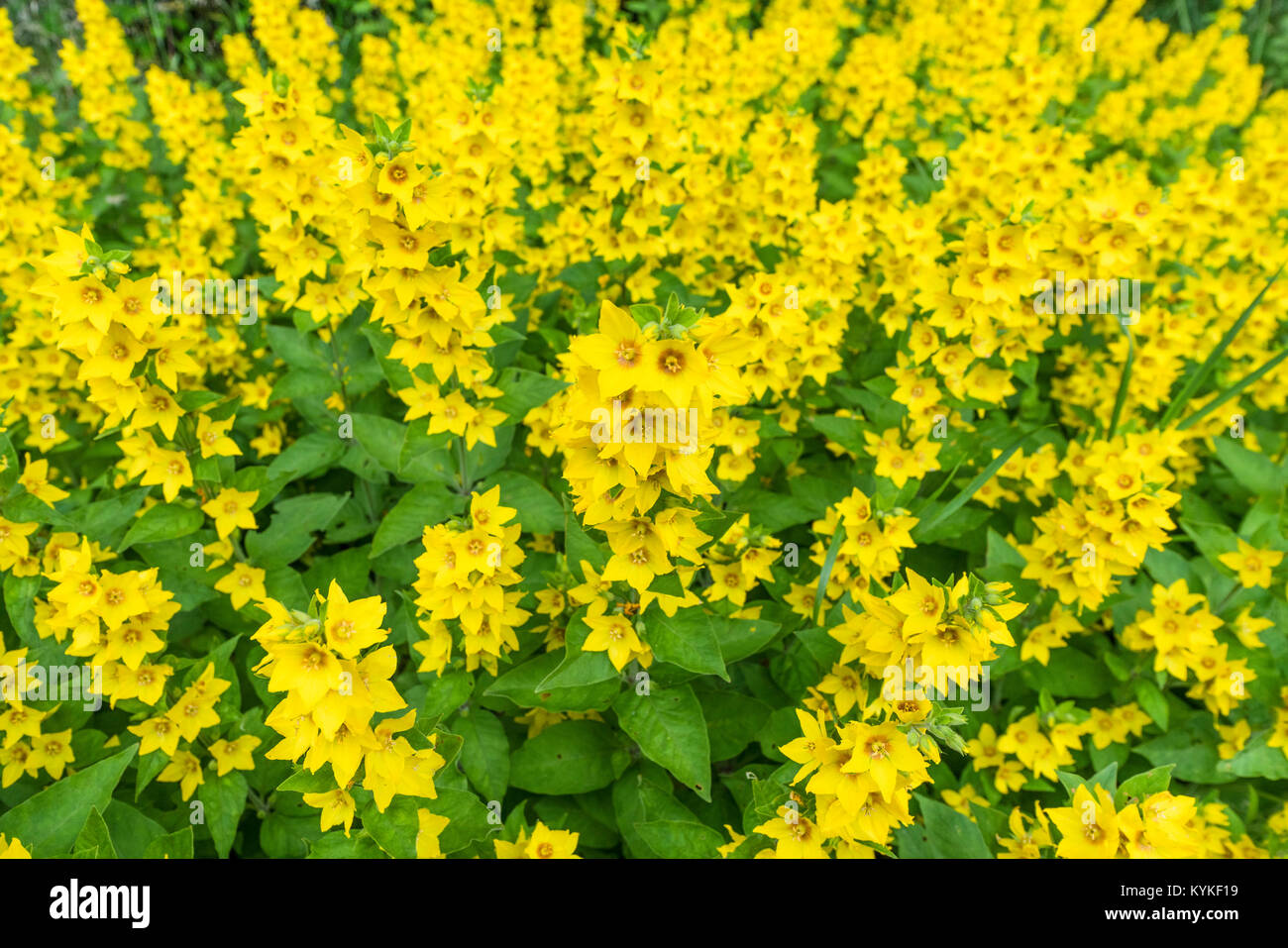 Bunch of yellow flowers in a garden with fresh green leaves in the summer - Stock Image