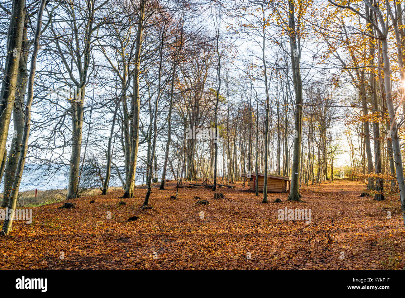Forest scenery with a wooden shelter in the morning with fallen autumn leaves - Stock Image