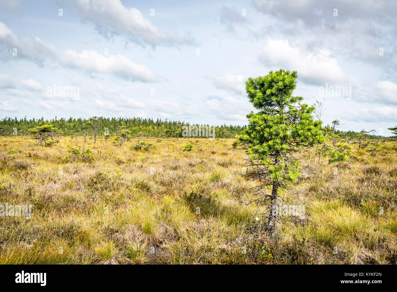 Wilderness landscape with a single pine tree on a prairie field with tall grass in the summer - Stock Image
