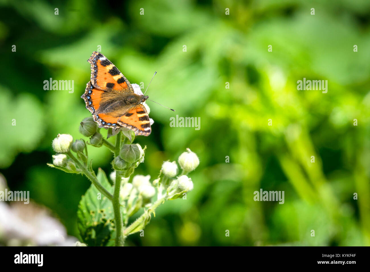 Tortoiseshell butterfly sitting on a white flower in a garden in the summer - Stock Image