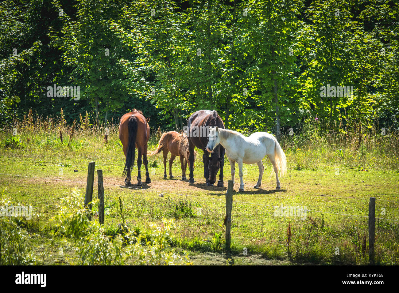 Horses on a meadow in the summer behind a fence on a sunny day - Stock Image
