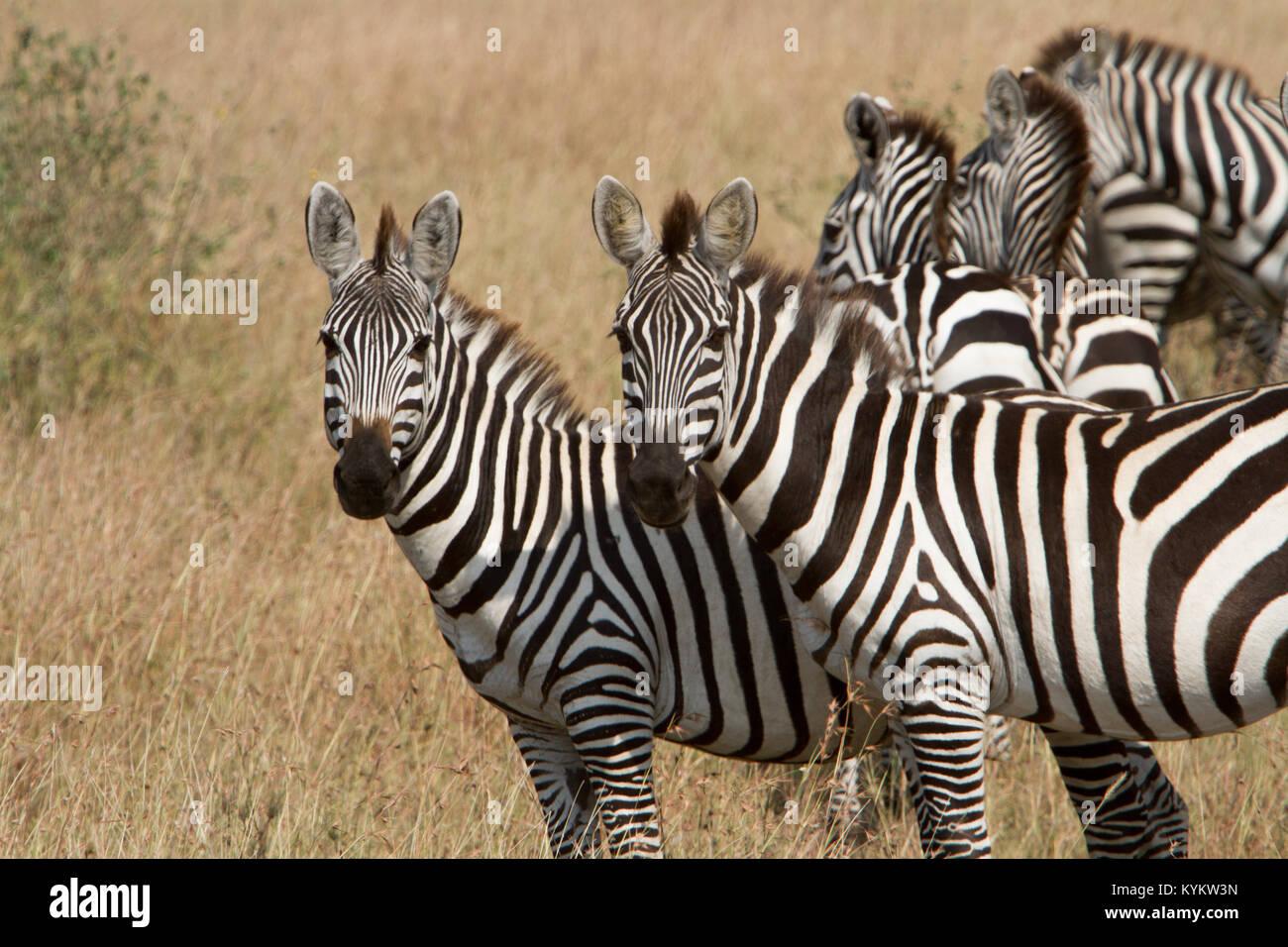 serengeti zebra migration not mara stock photos. Black Bedroom Furniture Sets. Home Design Ideas