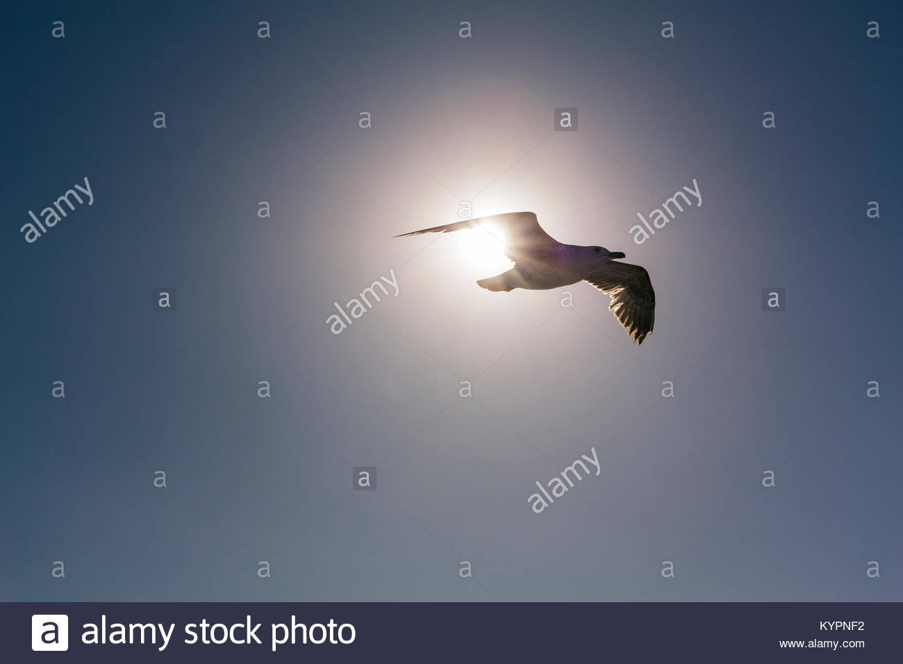 laridae-known-as-seagull-flying-KYPNF2.jpg