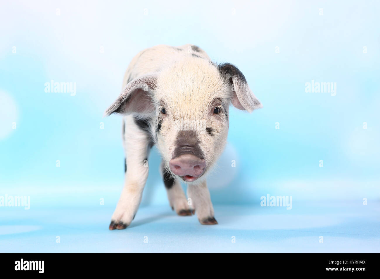 Laughing Pig Animal Stock Photos & Laughing Pig Animal ... - photo#32