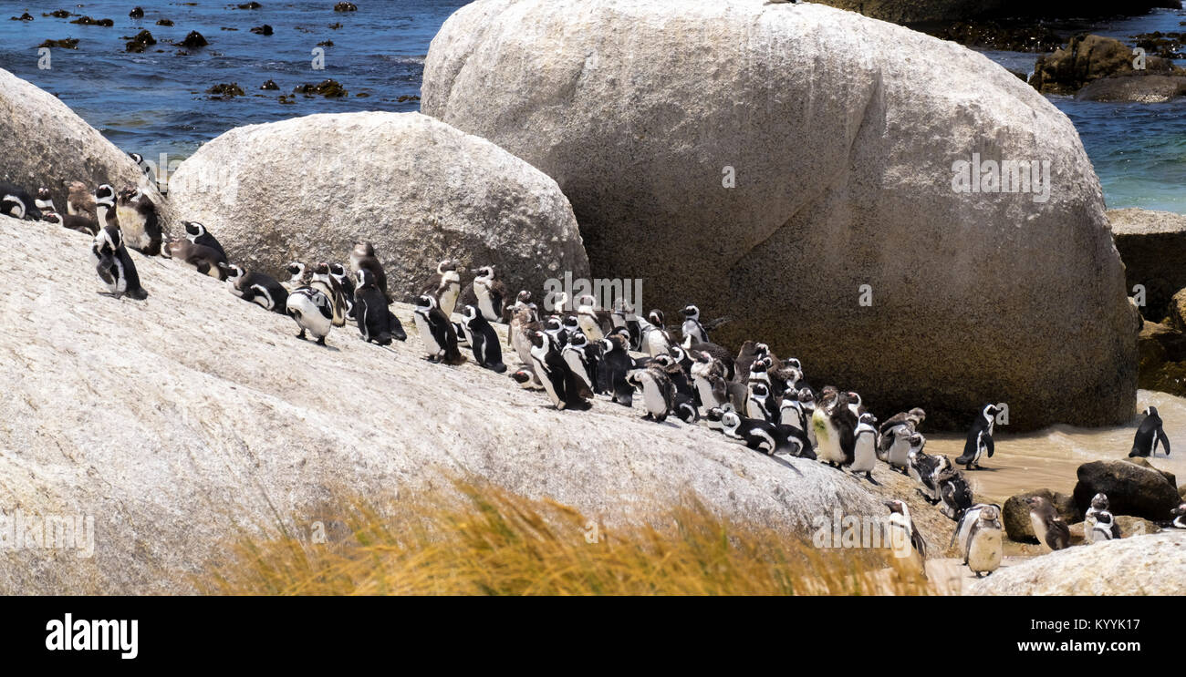 The Penguin Colony, Boulders Beach, Cape Province, South Africa - Stock Image