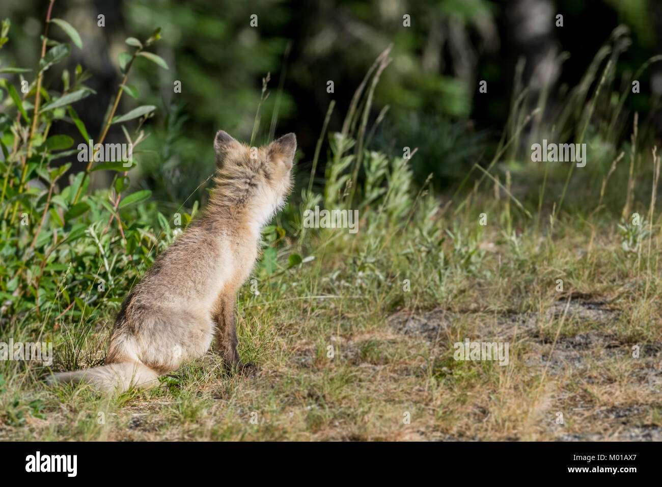 Back of Cascade Red Fox with copy space to right - Stock Image