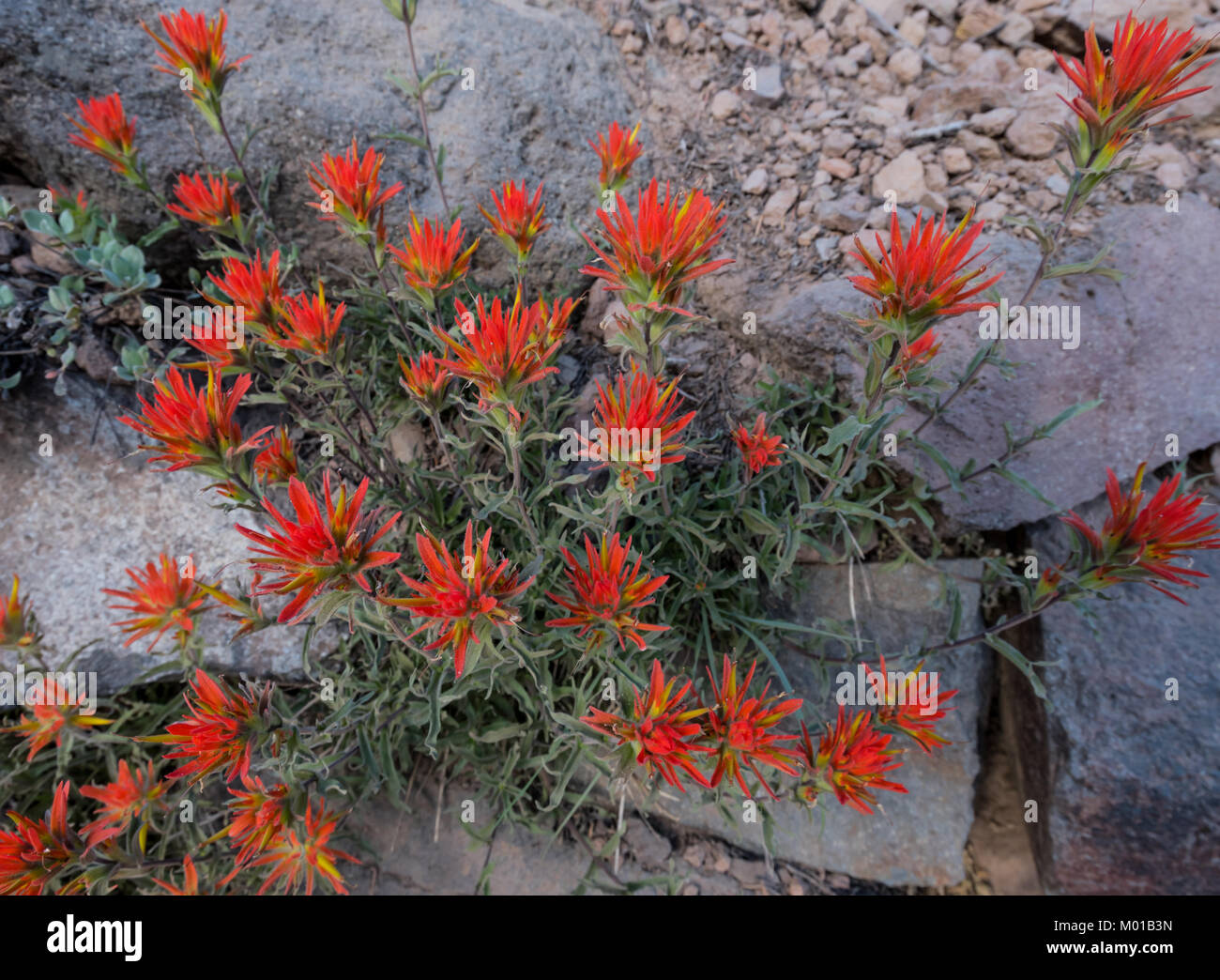 Bush of Indian Paintbrush Flowers growing out of rocky trail - Stock Image