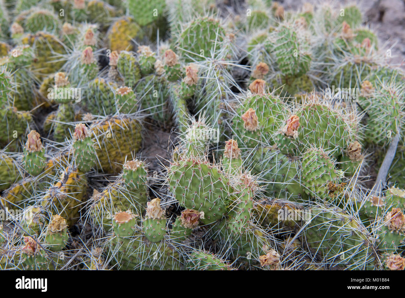 Cactus Bush with Thorns Wide Shot in Desert - Stock Image