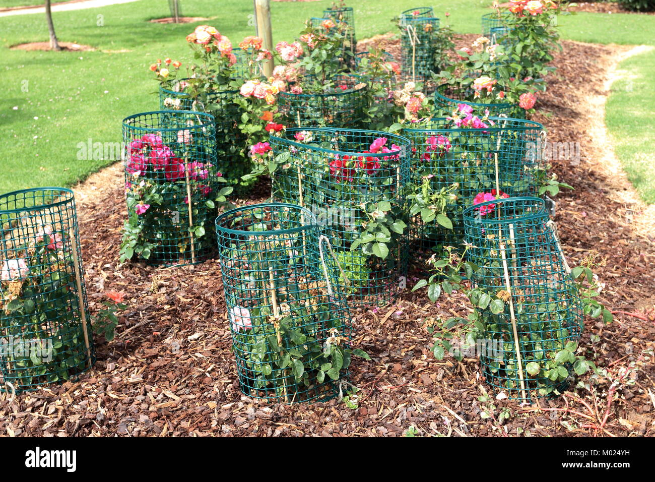 Roses In Garden: Rose Bushes Stock Photos & Rose Bushes Stock Images
