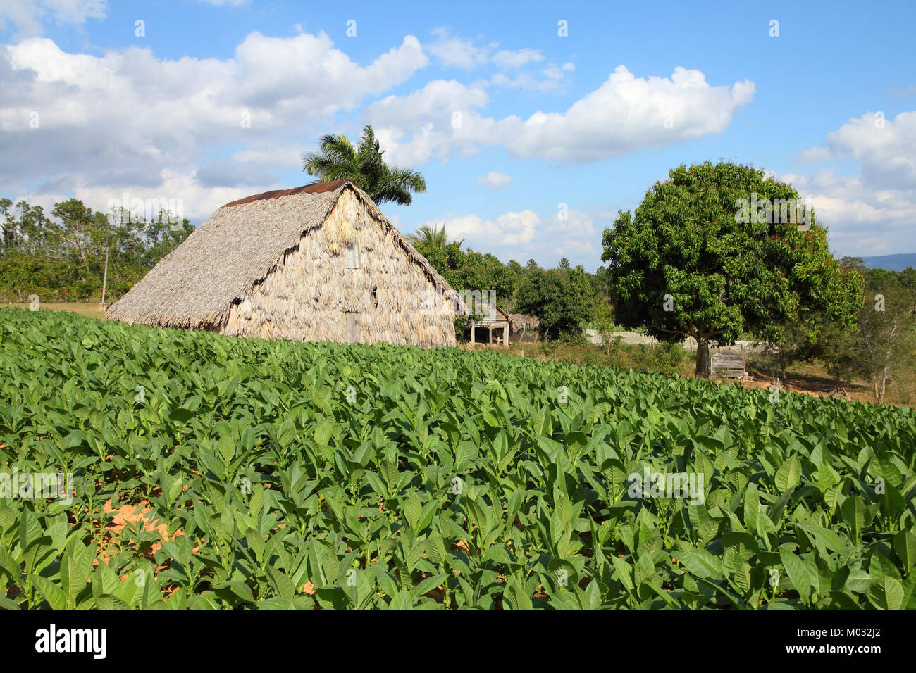 Cuba - tobacco plantation and thatched rural huts in Vinales National Park. UNESCO World Heritage Site. - Stock Image