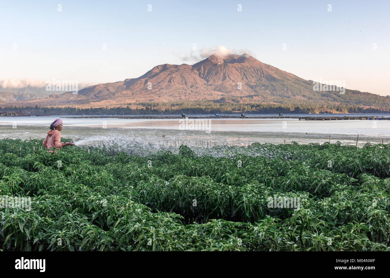 Rice Plants In Indonesia Stock Photos Amp Rice Plants In