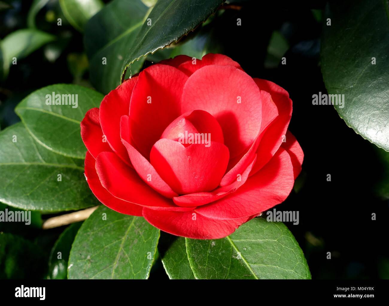 Camellia Reticulata Stock Photos & Camellia Reticulata ...