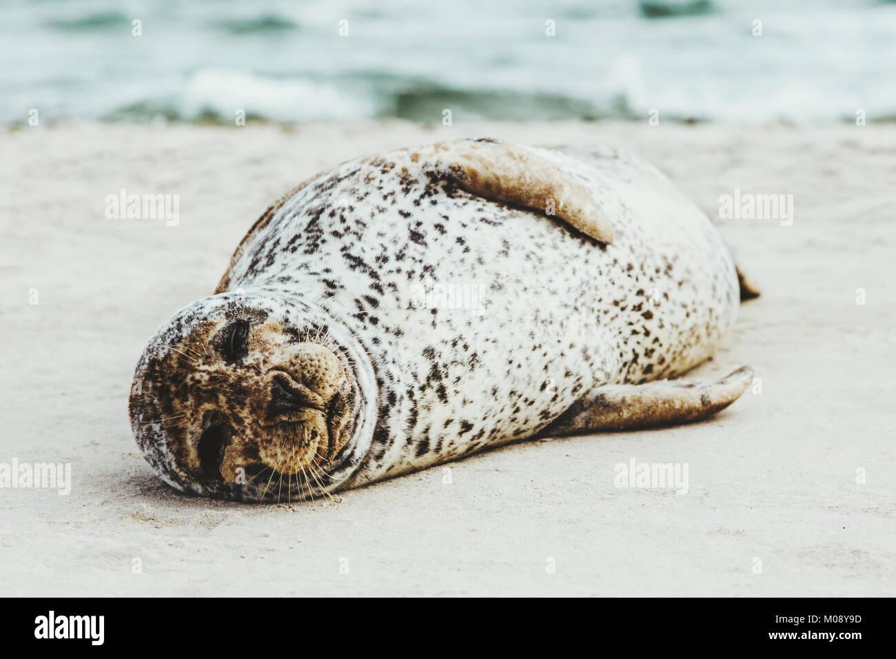 Harbor Seal funny animal sleeping on sandy beach in Denmark phoca vitulina ecology protection concept arctic sealife - Stock Image