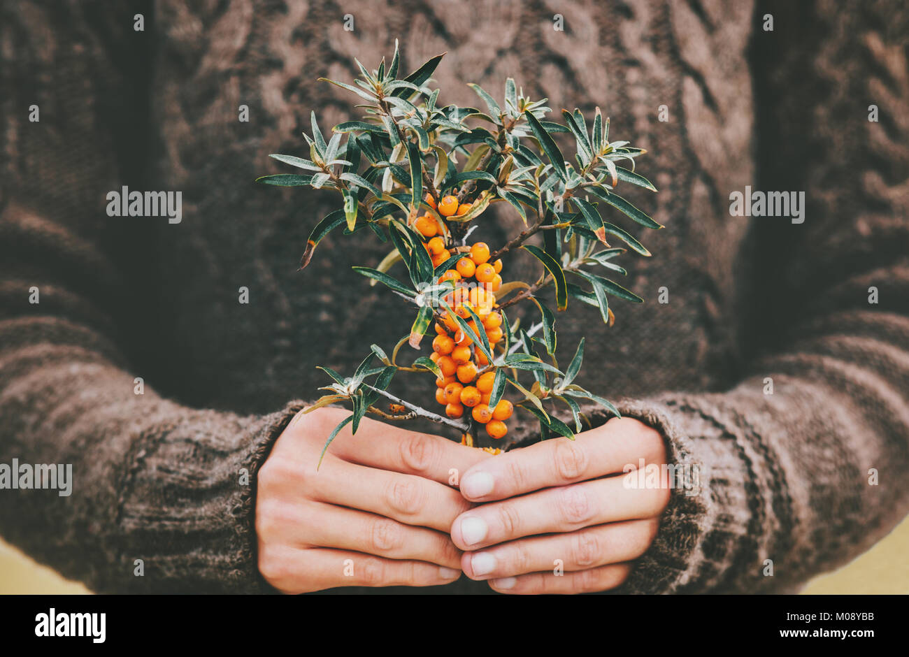 Woman hands holding sea buckthorn  berries organic food Healthy Lifestyle plant fresh picked cozy knitted sweater - Stock Image